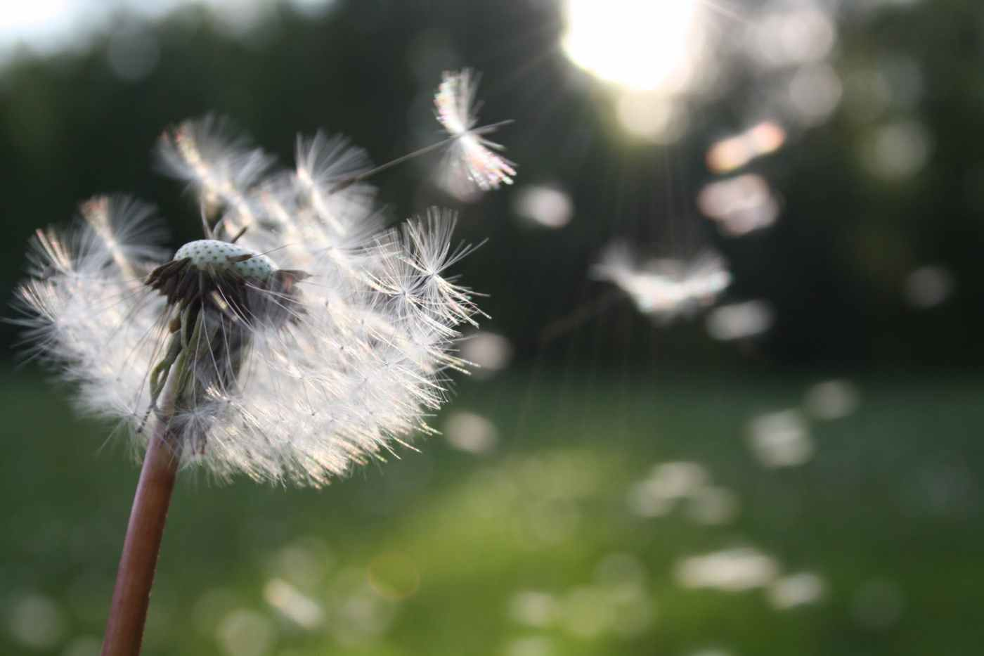Image of dandelion petals being blown away by wind