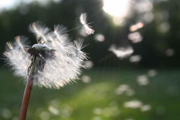 Image of dandelion petals being blown away by wind